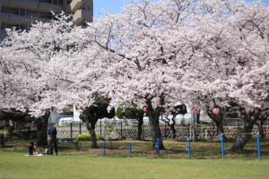 平公園 桜