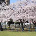 平公園にお花見に行きました
