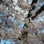 千本桜か一本桜か。