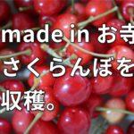 賢明寺ミニミニ農園 メイドインお寺さくらんぼを収穫。